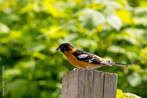 Poster Black headed grosbeak