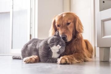 British cat and Golden Retriever © chendongshan