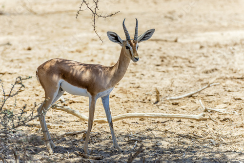 Poster Ezel Dorcas gazelle (Gazella dorcas) inhabits desert areas of Africa and Middle East