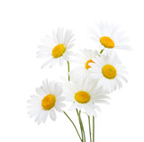Bouquet  of Chamomiles  ( Ox-Eye Daisy ) isolated on a white background. - 156121006