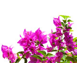 Blooming bougainvillea  isolated on white background - 156122461