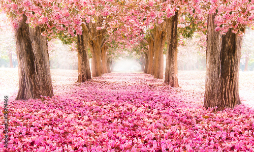 Aluminium Candy roze Falling petal over the romantic tunnel of pink flower trees / Romantic Blossom tree over nature background in Spring season / flowers Background