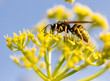 Quadro Wasp on yellow flower in nature