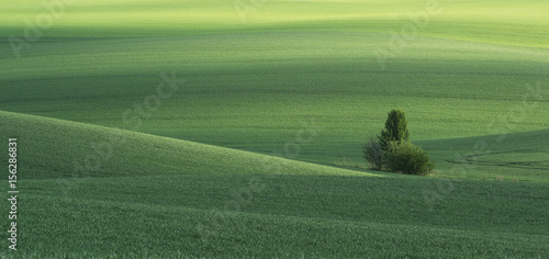 Keuken foto achterwand Olijf Spring green field and tree. Ukraine, Volhynia