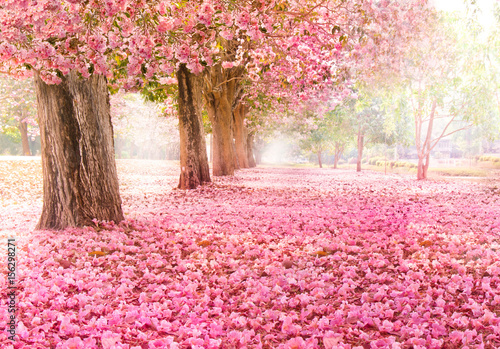 Fototapety, obrazy : Falling petal over the romantic tunnel of pink flower trees / Romantic Blossom tree over nature background in Spring season / flowers Background