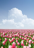 Field of tulips and the cloudy sky.