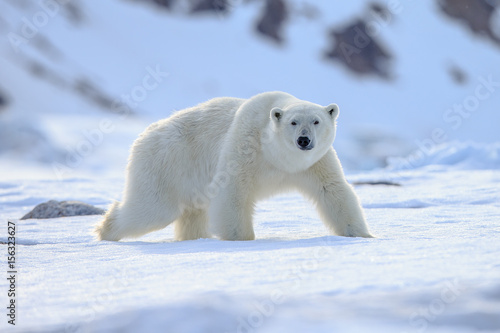 Canvas Ijsbeer Polar bear of Spitzbergen (Ursus maritimus)
