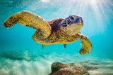 Fototapety An endangered Hawaiian Green Sea Turtle cruises in the warm waters of the Pacific Ocean in Hawaii.