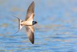 Rauchschwalbe (Hirundo rustica) im Flug über dem Teich fliegend - 156579455