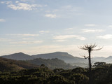 view of mountains with araucaria tree at dusk