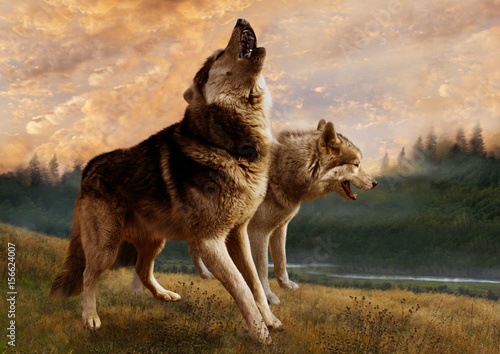A pair of wolves inspect their possessions Poster
