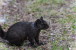 Black squirrel crawling on the grass