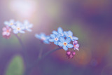Beautiful colorful fairy dreamy magic small blue forget-me-not flowers, blurry background, toned with filters and light leak, soft selective focus, macro closeup nature with lens flare.