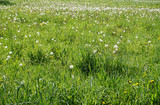 Blowballs on a green meadow