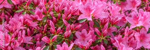 Canvas Azalea Rhododendron - Banner