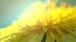 Dandelion flower on the field extreme closeup. Slow motion. 4K UHD video 3840X2160