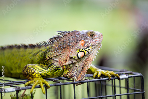 male green iguana dragon Poster