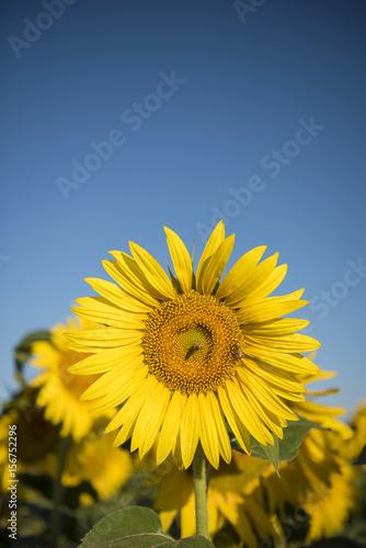 Fotobehang Purper Sunflower, Pampas landscape, Argentina
