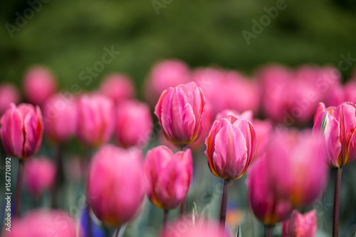 Fotobehang Candy roze Brightly colored tulips shot at Ottawa tulip festival in Ontario Canada. The mixed bed cultivated flowers supply a color explosion that dazzles in the early spring time sun.