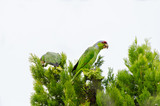 Wild Feral Red Crowned Parrots in Juniper