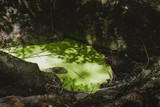 Duckweed in the forest.