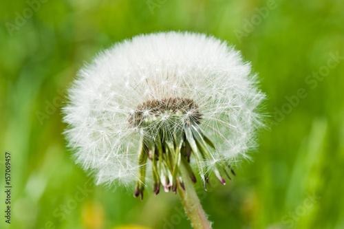 White dandelion, close up © E.O.