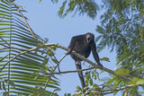 Male Howler Monkey howling in the Trees