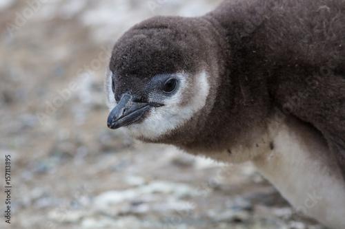 Plakát Baby Penguin Closeup