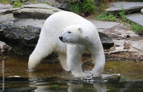 Fotobehang Ijsbeer niedlicher Eisbär