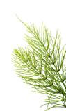 Equisetum arvense - Horsetail herb - 157169849