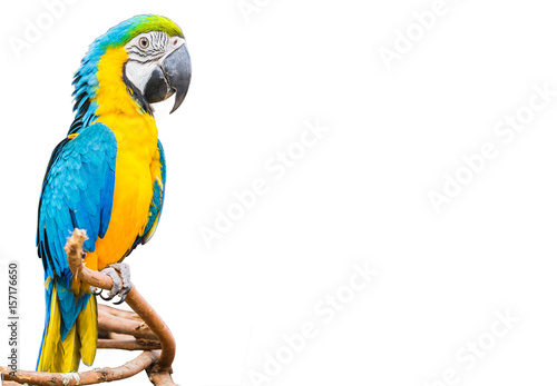 Fotobehang Papegaai The blue and yellow Parrot or Macaws isolated white background.