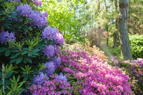 Fotobehang Azalea spring flowers