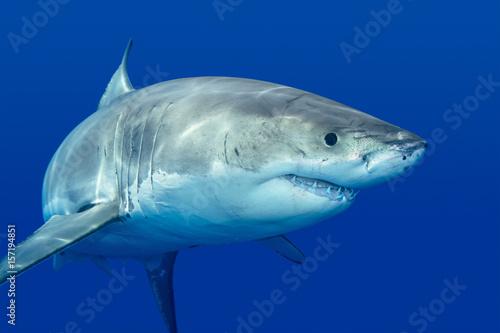 Fototapeta Great white shark