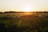 field with white dandelions in sunset, rural photo