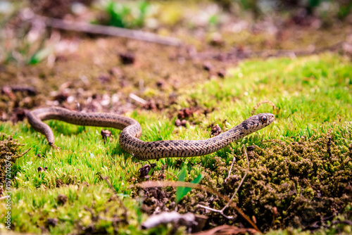 A Photo of the complete Common Garter Snake found in Pennsylvannia Poster