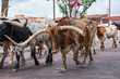 Fort Worth Texas Longhorn Cattle Drive