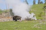 Bison walks around a steaming geyser in Yellowstone.