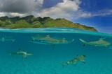 Moorea - Haapiti (Polynésie Française)  : requins pointes noires nageant dans le lagon..... - 157215218