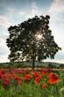Sunshine in poppy field
