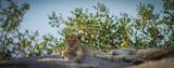 Lion Cub - 157241297