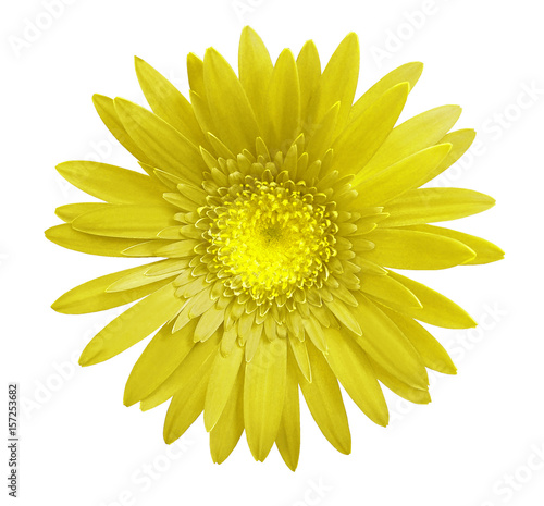 Yellow gerbera flower on white isolated background with clipping path. Closeup. no shadows. For design. Nature.