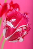 spring flowers banner - bunch of pink red flowers on red background