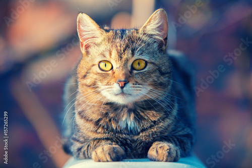 Poster Portrait of a cat lying outdoor in a yard