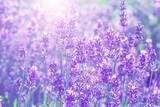 field lavender  blur background wallpaper - 157274009