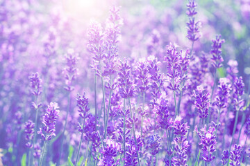 field lavender blur background wallpaper