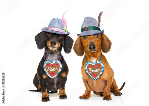Poster Crazy dog bavarian beer dachshund sausage dogs , couple of two