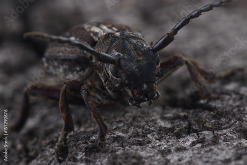 Beetle (Dorcadion equestre) is sitting on tree bark Poster