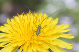 small green grasshopper (back) in dandelion, macro