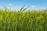 Field with green wheat against the blue sky - 157297236