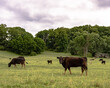 Thin Angus commercial cows on spring pasture